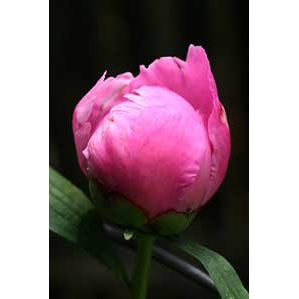 Partially Open Peony Flower