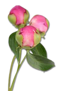 Peony buds - grown in the Yakima Valley flower fields